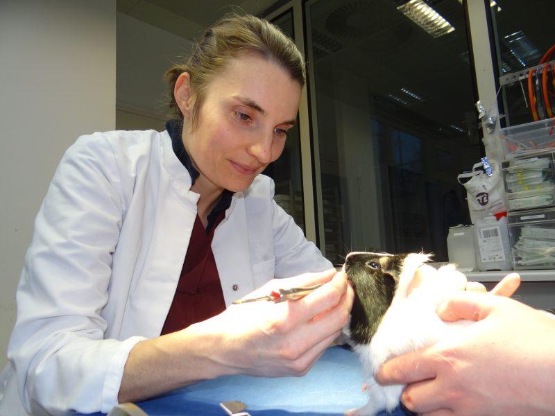 Untersuchung des Mauls beim Nagetier