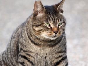 Uebergewicht bei Katzen