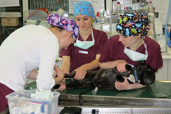 Ein Team: Chirurgin Und Assistentinnen Bereiten Ein Tier Auf Die OP Vor