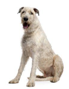 Irische Wolfshunde neigen zu angeborenen Lebershunts.