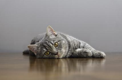 Bei Katzen geht die IBD häufig mit Appetitverlust einher.