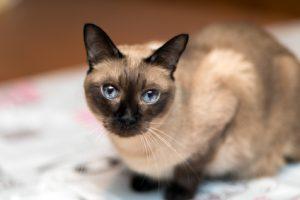 Siam-Katzen neigen häufiger zu Futtermittel-Intoleranzen.