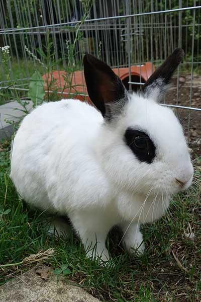 Hüft-OP Beim Kaninchen